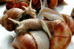 Comment faire jeuner les escargots ?